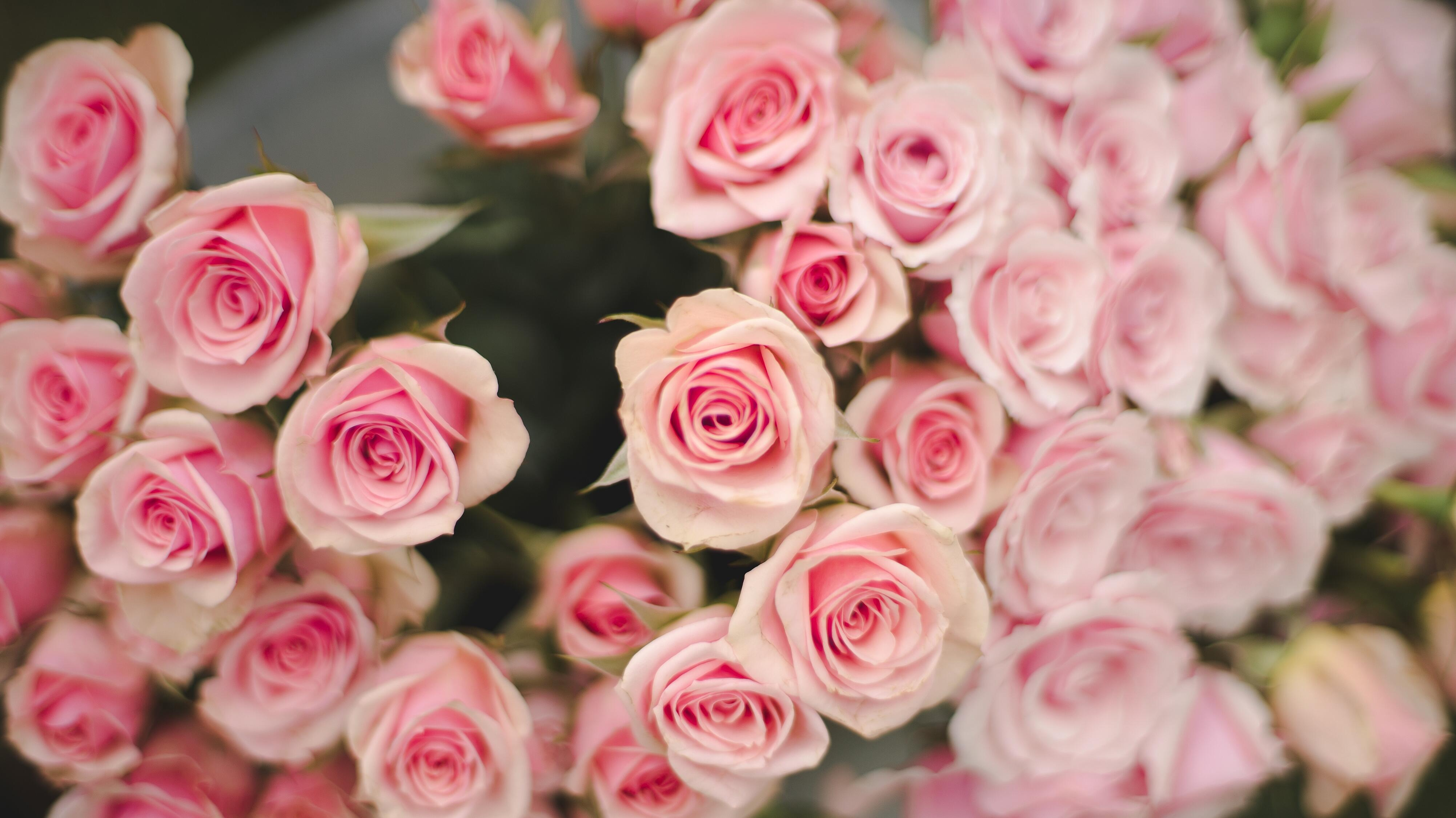 Pink Roses FlowerFarm
