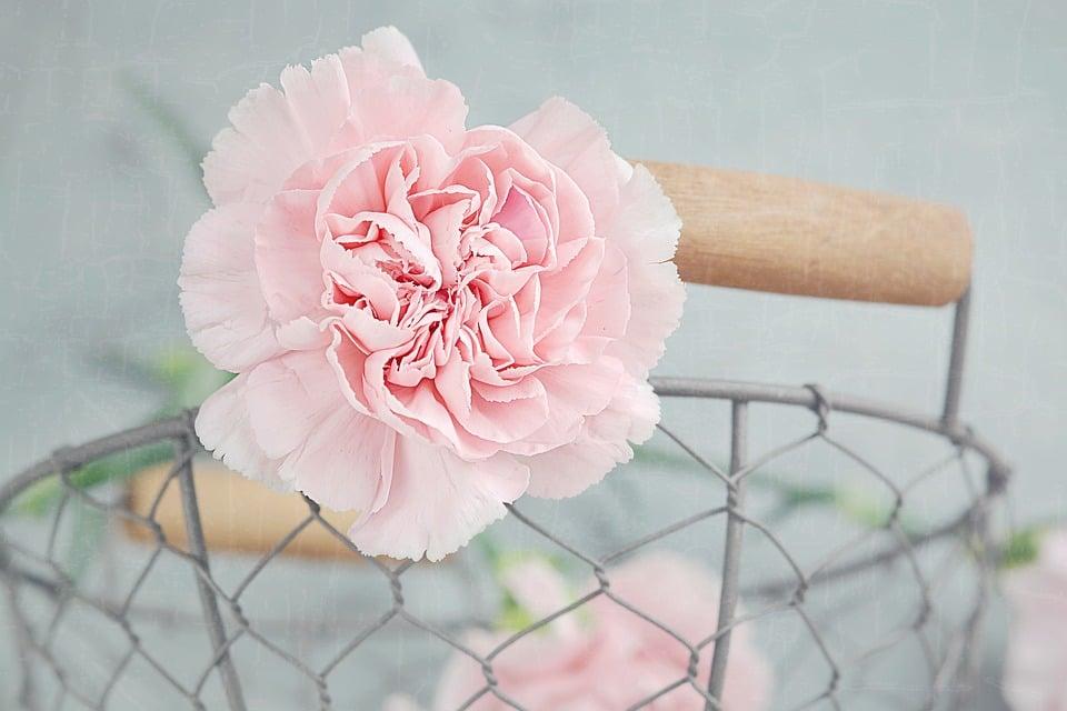 Details Pink Carnation
