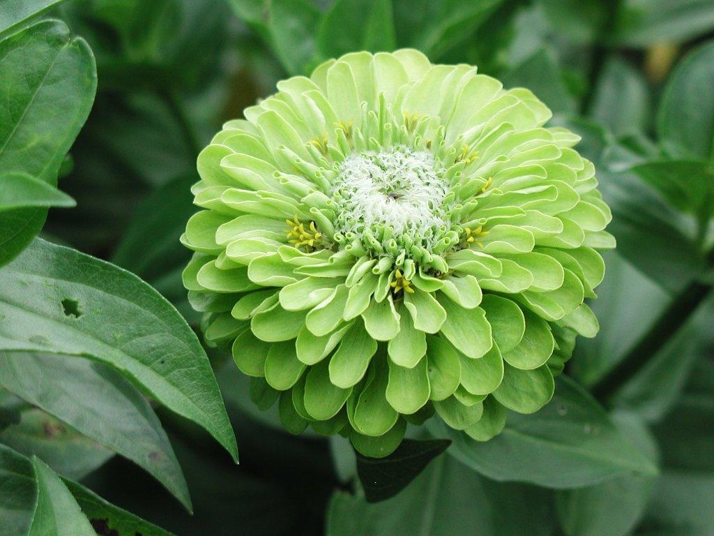 Green Zinnia .jpg