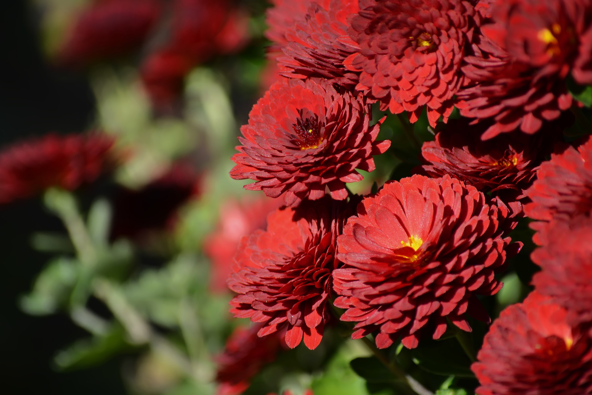 chrysanthemum-4583877_1920