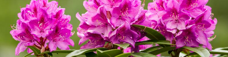 coast-rhododendron