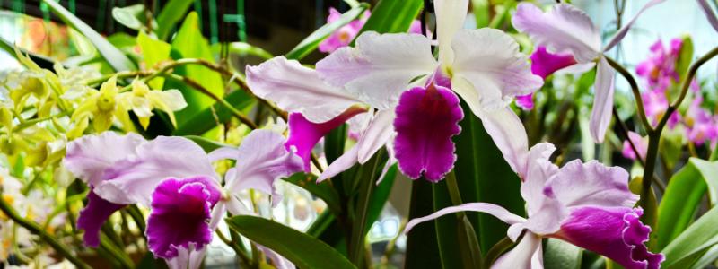 laelia-orchid