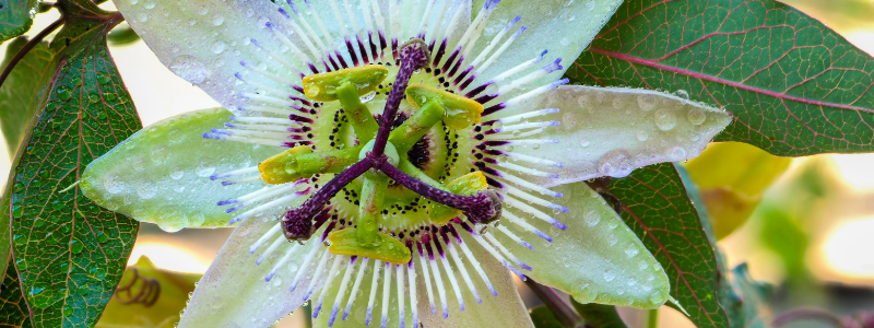 mexican-passion-flower