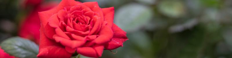 oklahoma-rose