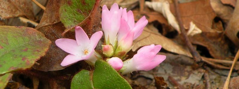 pink-mayflower