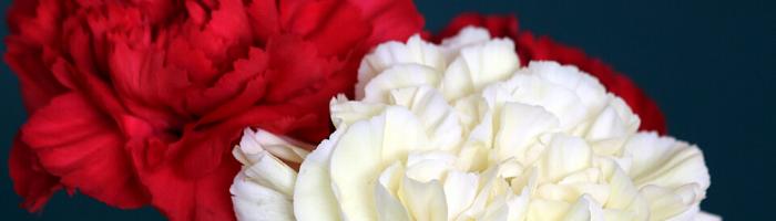 red-white-carnations-blog
