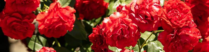 scarlet-carnation