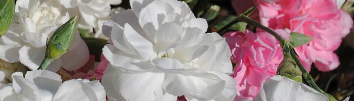 white-carnations-blog