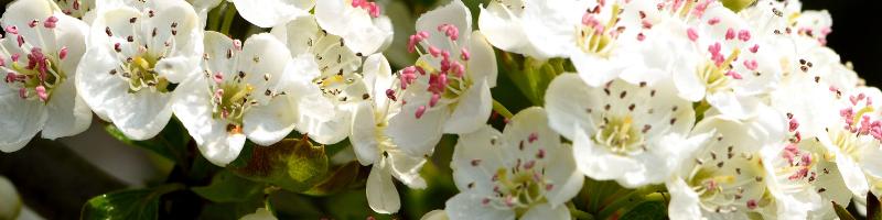white-hawthorn-blossom