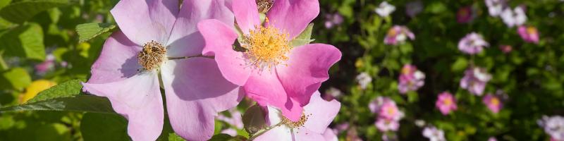 wild-prairie-rose